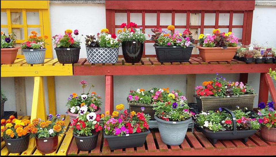 summer bedding plants carrive grove garden centre. Black Bedroom Furniture Sets. Home Design Ideas